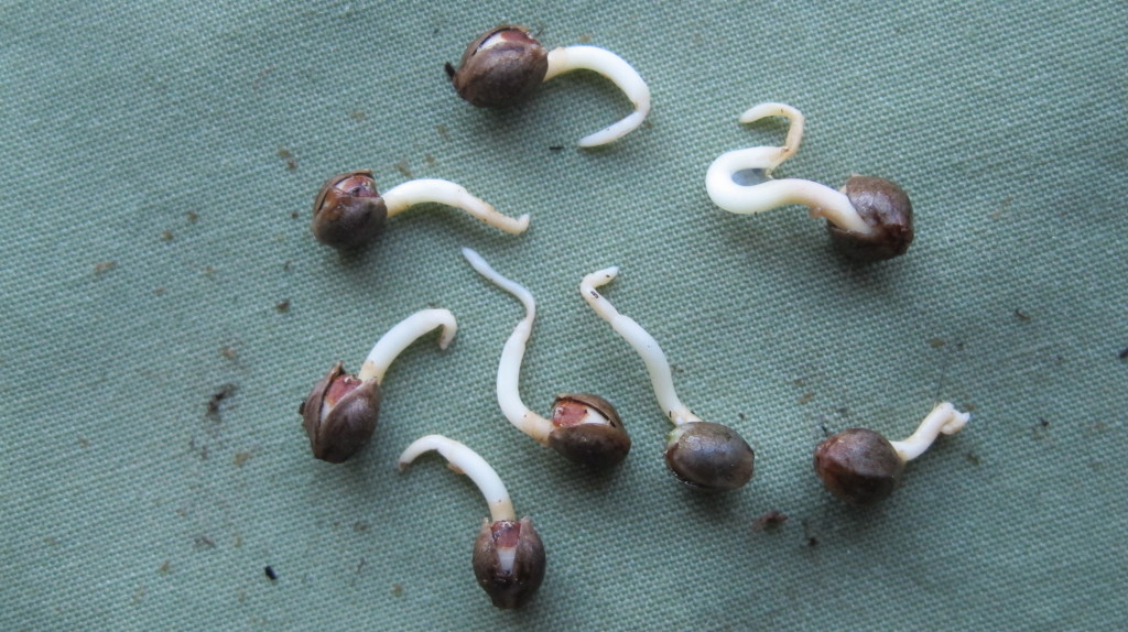 Sprouted pot seeds with fungus-infected root tips.